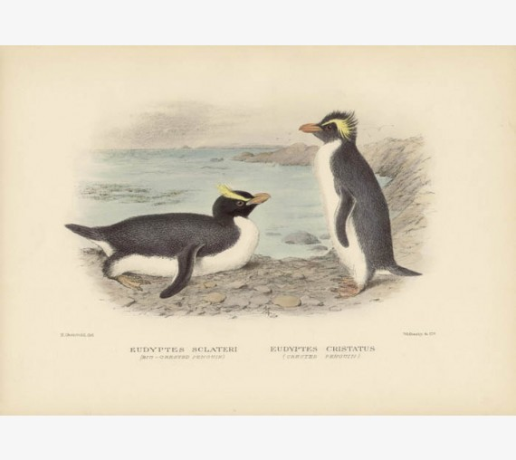 Mathews Birds Bigcrested Penguin Crested Lithograph Gronvold
