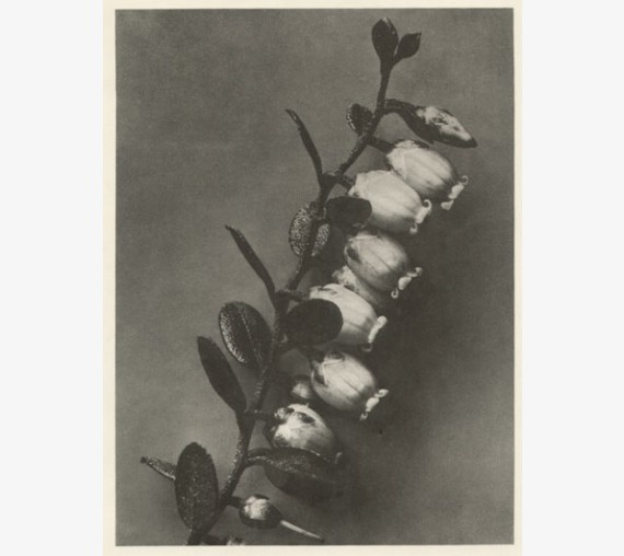 blossfeldt photogravure photograph botanical print antique