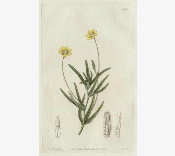 platystemon california loddiges botanical print antique engraving