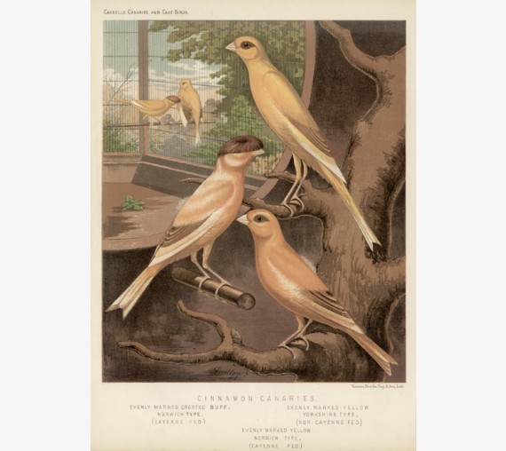 Cinnamon Canaries Victorian Chromolithograph Ludlow