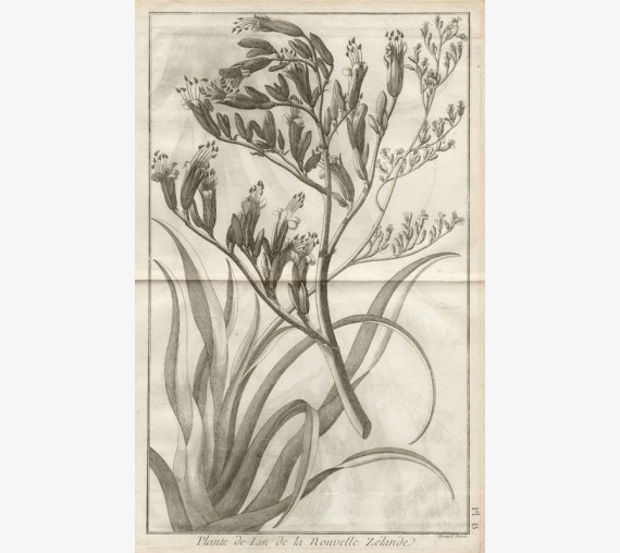 phormium tenax flax plant cook botanical engraving antique print