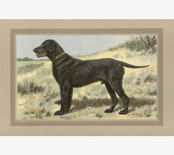 Curly Coated Retriever Chromolithograph print gun dog breed