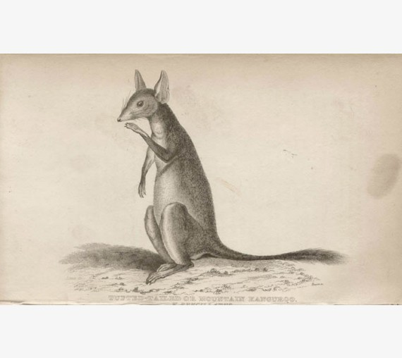 Tufted Tailed Mountain Kangaroo engraving John Lewin