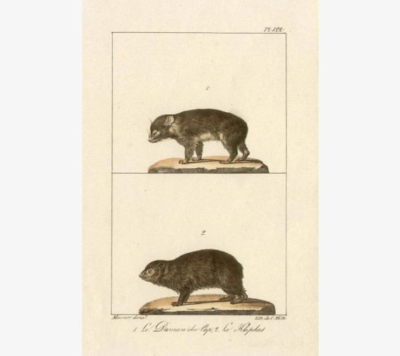 Cape hyrax Rock Badger Lithograph French antique print