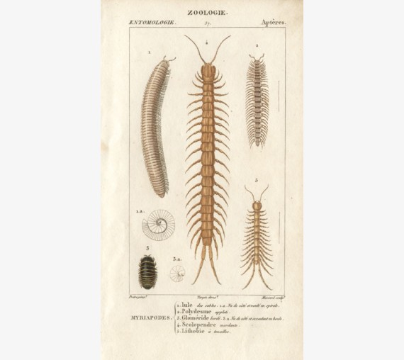 Dumeril Centipedes engraving French insect