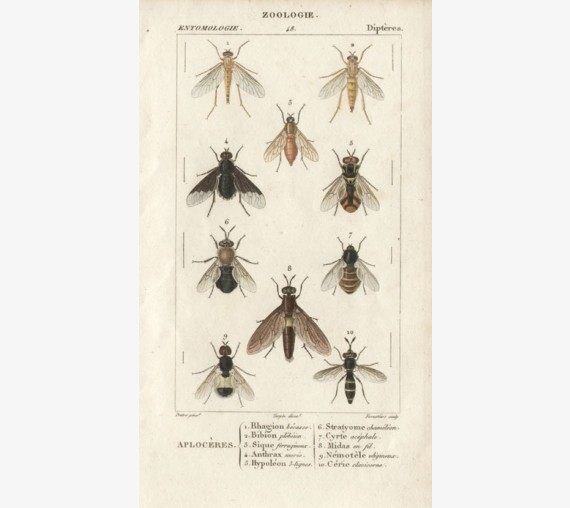 Dumeril Flies engraving French insect