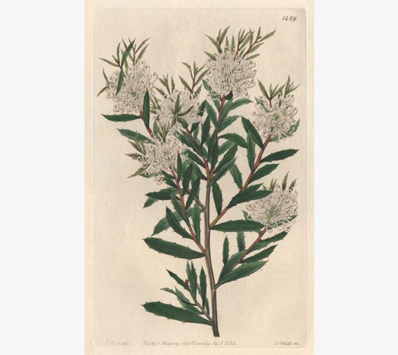hakea linearis loddiges botanical register print antique engraving