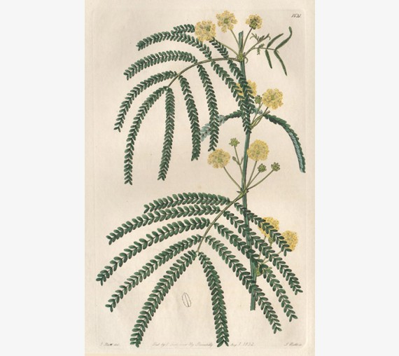 acacia pentadenia loddiges botanical register print antique engraving