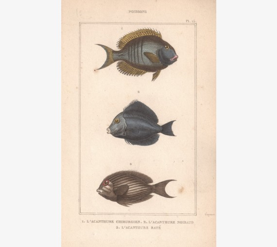 Poissons Fish French antique engraving
