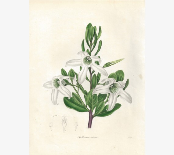 anthocercis viscosa glutinous botanical print antique engraving maund