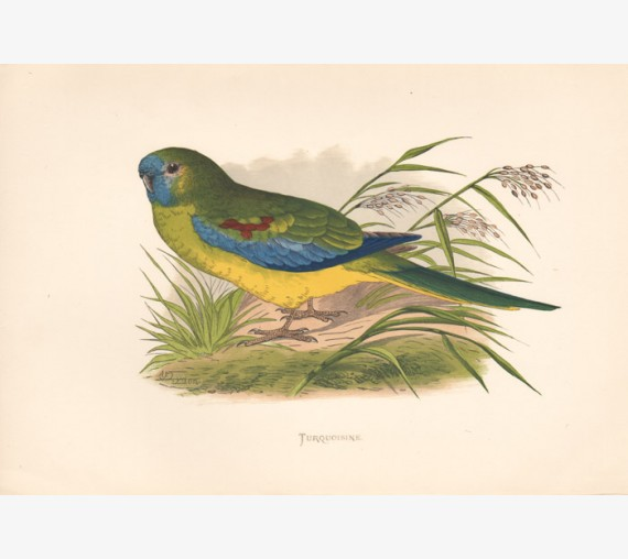 Turqoisine Colour woodblock Greene Parrots Captivity