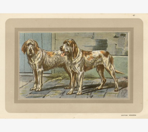Vendeean Griffon Hound Chromolithograph print gun dog breed