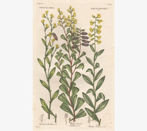 rattlewort hill botanical print antique engraving
