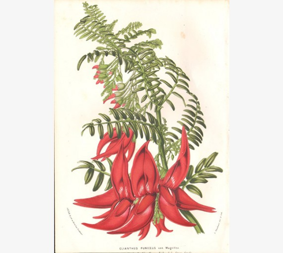 clianthus puniceus kaka beak botanical print antique engraving