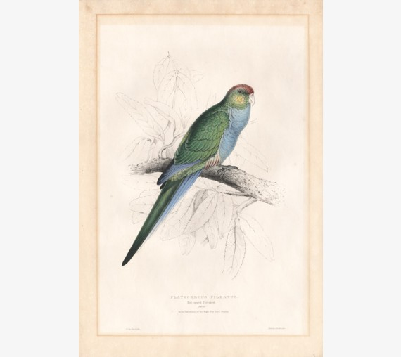 Red capped Parrakeet Lithograph Edward Lear 1832