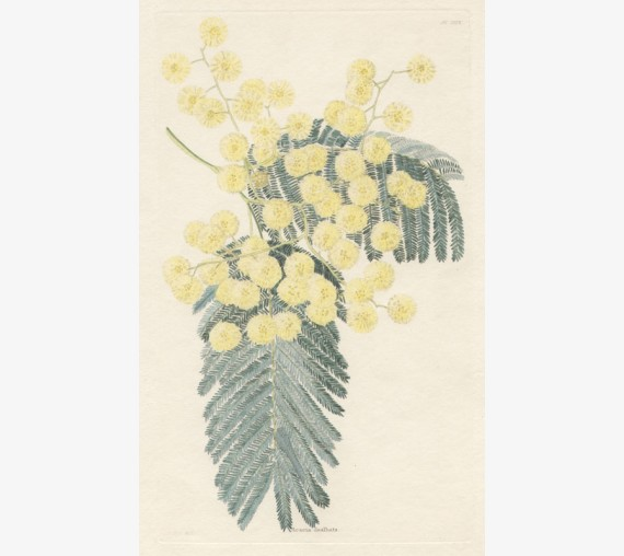acacia dealbata loddiges botanical print antique engraving