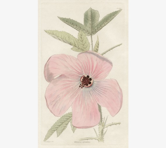 hibiscus splendens pink loddiges botanical print antique engraving