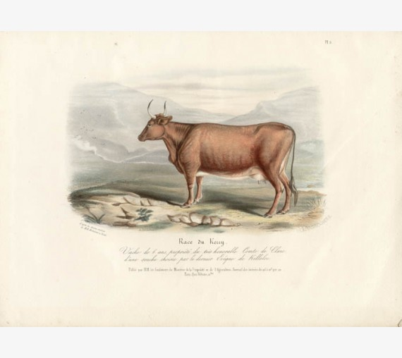 Low Domestic Breeds Kerry Cattle Lithograph Nicholson Shiels