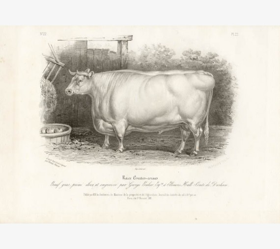 Low Domestic Breeds Short Horn Cattle Lithograph Nicholson Shiels
