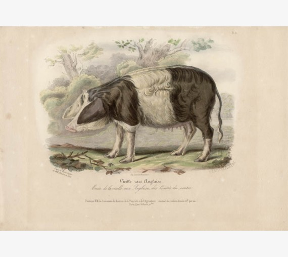 Low Domestic Breeds Old English Pig Lithograph Nicholson Shiels