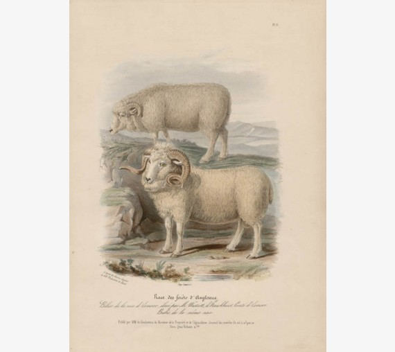 Low Domestic Breeds English Forest Sheep Lithograph