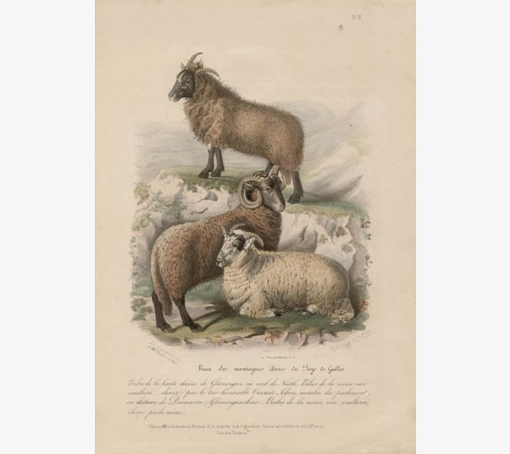 Low Domestic Breeds Higher Welsh Mountains Sheep Lithograph