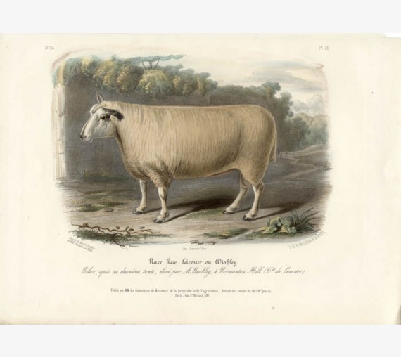 Low Domestic Breeds New Leicester Sheep Lithograph