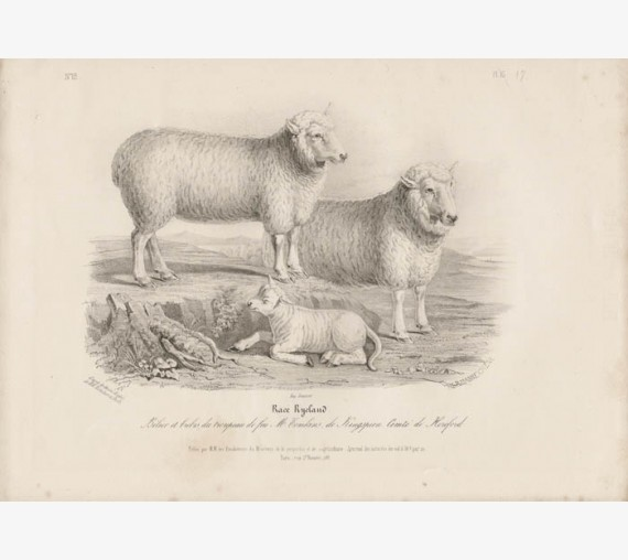 Low Domestic Breeds Ryeland Sheep Lithograph Nicholson Shiels