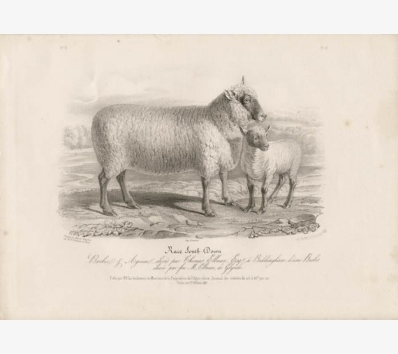Low Domestic Breeds South Down Sheep Ewe Lithograph