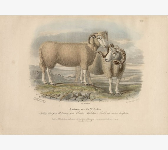 Low Domestic Breeds Old Wiltshire Sheep Lithograph Nicholson Shiels