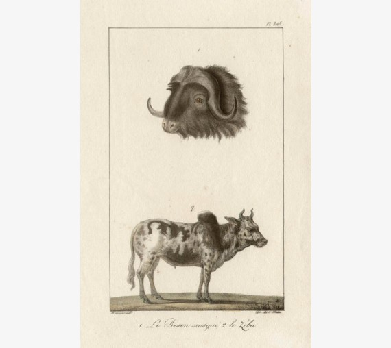Musk Ox Zebu Lithograph French antique print