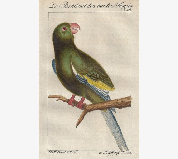 Longtailed Green Parakeet Buffon bird engraving