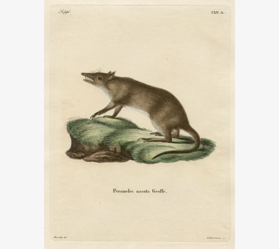 Perameles nasuta Long-Nosed Bandicoot engraving