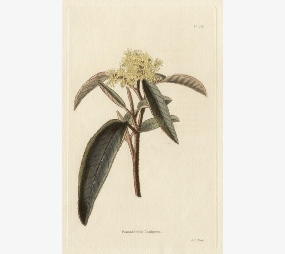 pomaderris laningera yellow loddiges botanical print antique engraving