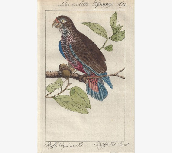 Violet Parakeet Buffon bird engraving