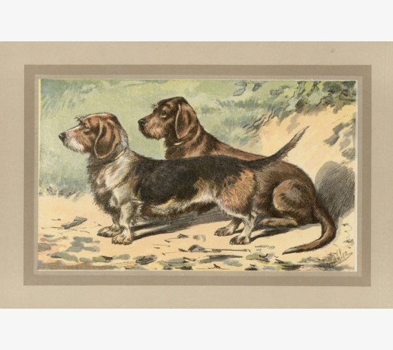 Rough Coated Dachshund Chromolithograph print gun dog breed