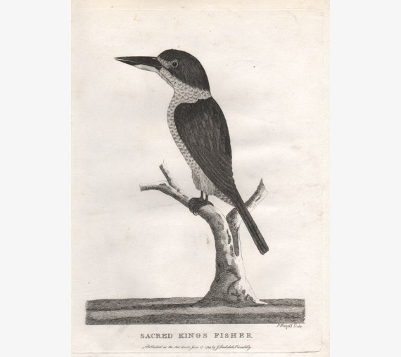 Sacred Kings Fisher kingfisher engraving Mazell 1789