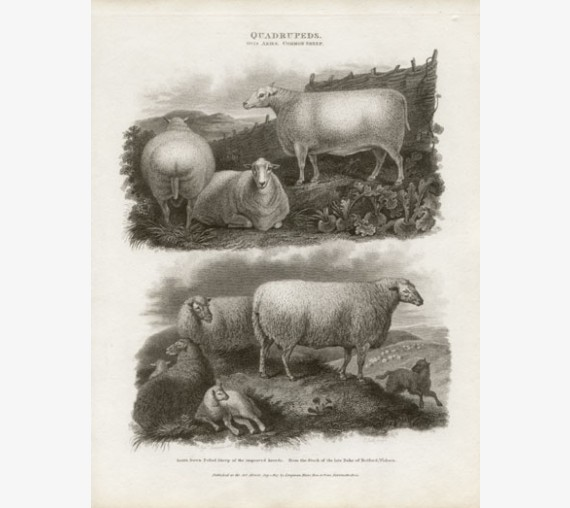 South Down Polled Sheep engraving Sydenham Edwards