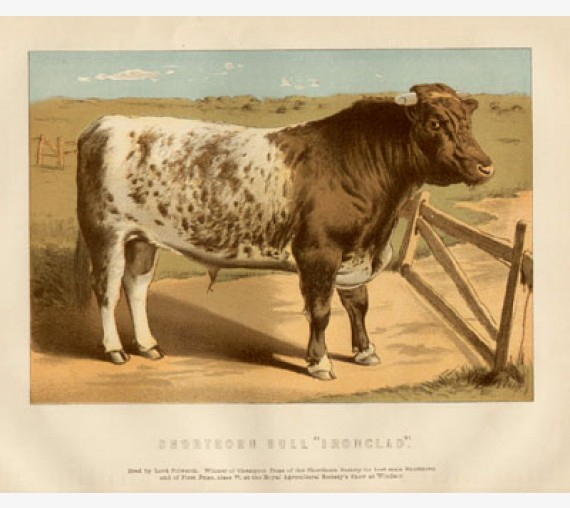 Shorthorn Chromolithograph cattle cow Victoria