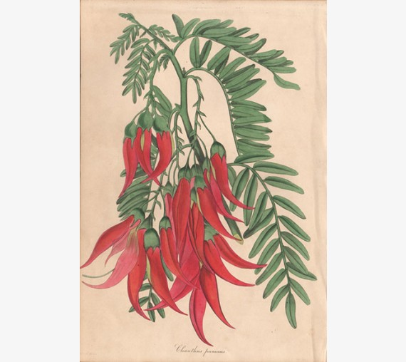 clianthus puniceus kaka beak paxton botanical print antique