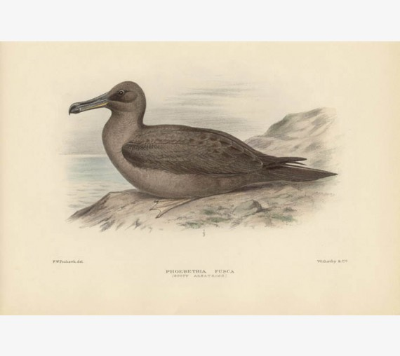 Mathews Birds Sooty Albatross Lithograph Frowhawk