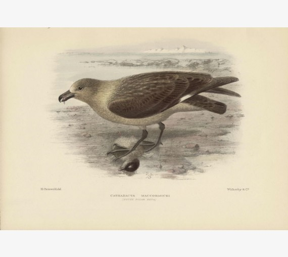 Mathews South Polar Skua Lithograph Gronvold
