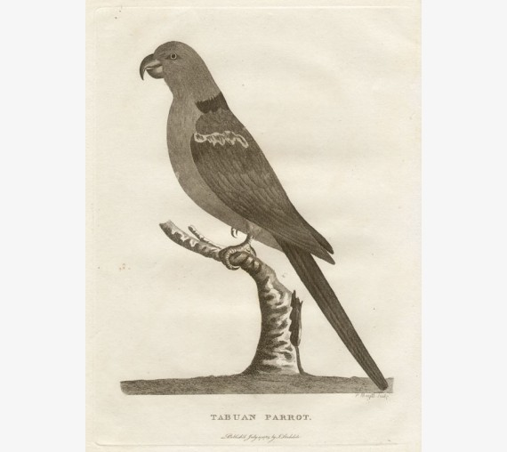 Tabuan Parrot engraving Peter Mazell 1789