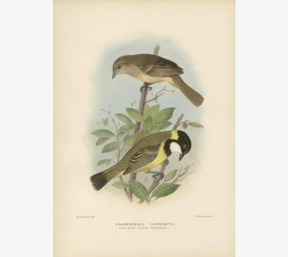 Mathews Birds Lord Howe Island Thickhead Lithograph Gronvold