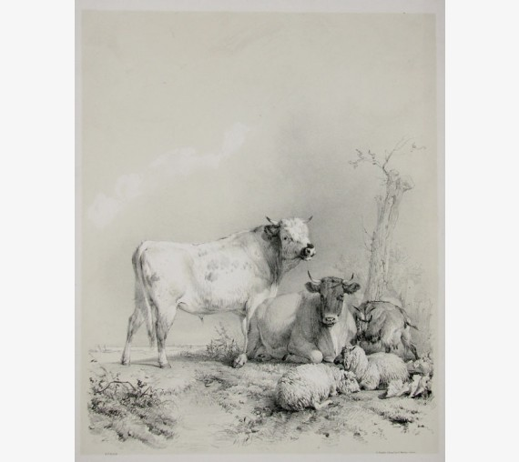 Stock cattle bull lithograph Thomas Sidney Cooper