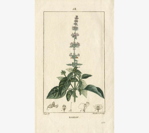 basil botanical kitchen print antique engraving herb