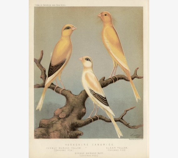 Yorkshire Canaries Victorian Chromolithograph Ludlow