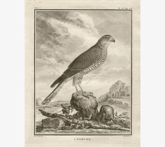 L'Epervier Sparrowhawk French antique bird engraving Seve