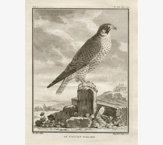Haggard Falcon French antique bird engraving Seve