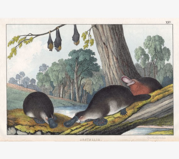 platypus flying fox colour lithograph